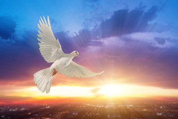Foto En Lienzo - white dove flying on sky in beautiful sunset light for freedom concept