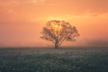 Amazing nature landscape with misty single tree and flowering meadow of white wild growing narcissus flowers at sunrise. Daffodil valley, nature reserve near Khust, Transcarpathia, Ukraine
