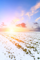 Wall Murals Purple Farmland wheat seedlings covered with snow and sky sunset clouds in winter