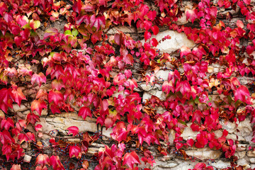 red autumn background with ivy