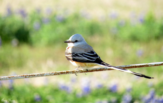 Scissor tailed Flycatcher Tyrannus forficatus bird on fence