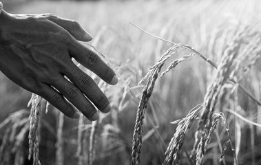 Hand of agriculturist tenderly touching golden ears of rice in the paddy field, Agriculture concept, monochrome, black and white image.