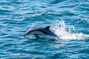 Common Dolphin Jumping off the coast of San Diego California