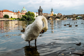 Swans on the Vltava embankment on the background of Charles bridge in Prague.