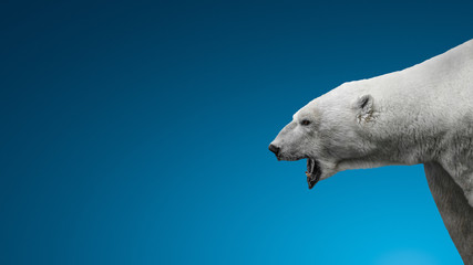 Poster Ijsbeer Aggressive big polar bear with open mouth isolated at blue icy smooth background with paste space, adult, male, details