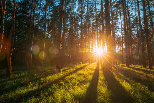 Sunset Sunrise Sun Sunshine In Sunny Summer Coniferous Forest. Sunlight Sunbeams Through Woods In Forest Landscape