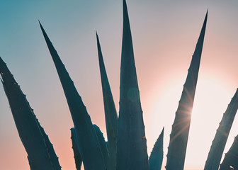 Closeup view of agave plant leaves against sunset sky with sunbeams