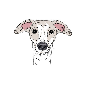 Symmetrical Vector portrait illustration of Italian Greyhound dog breed. Hand drawn ink realistic coloured sketching isolated on white. Perfect for logo branding t-shirt design