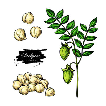 Chickpeas hand drawn vector illustration. Isolated Vegetable object. Nuts and plant.