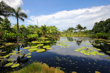 Water lilies growing and thriving in a garden in Naples, Florida, USA.