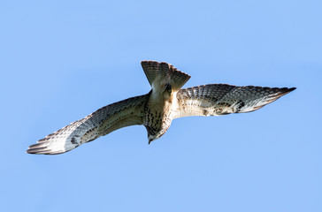 View of a Juvenile  Swainson's Hawk (Buteo swainsoni) in flight with a brigth blue sky