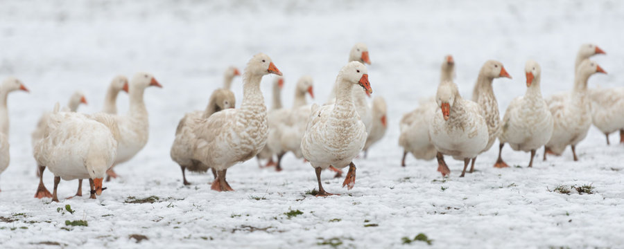 many white geese on a snovy meadow in winter. Portrait.