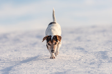 Small 12 years old frozen Jack Russell Terrier dog is walking over a snowy meadow in winter.
