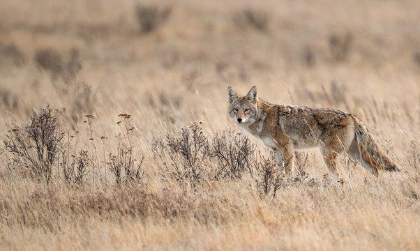 Coyote in Banff Canada