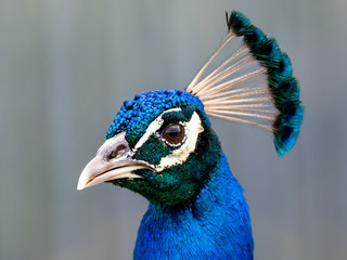 peacock portrait up close of Male