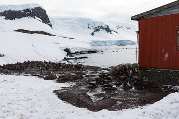 Gentoo penguins (Pygoscelis papua) with research hut at Mikkelsen Harbour