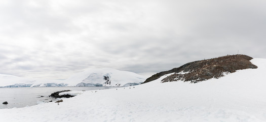 Panoramic view of Gentoo penguin (Pygoscelis papua) colony at Mikkelsen Harbour