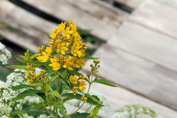 Blooming wildflowers solidago virgaurea know as goldenrod