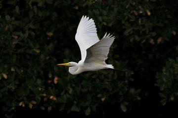 Beautiful great egret in flight against dark mangroves