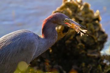Auburn hues of sunlight glisten on egret and shrimp