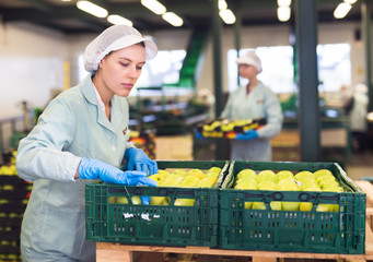 Employee inspecting quality of apples in sorting factory