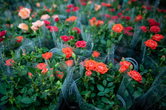 Red roses in flower shop packages