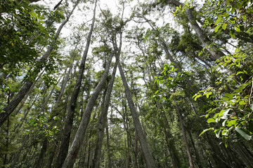 Looking up at the tall trees at the Audubon Corkscrew Swamp Sanctuary in Naples, Florida, USA.