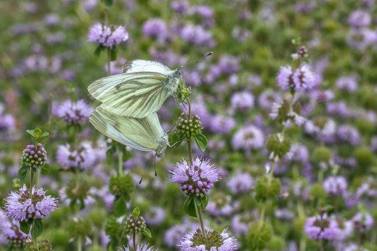 Green-veined white (Pieris napi) on (European) pennyroyal (Mentha pulegium)