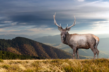 Deer on mountain background in summer time