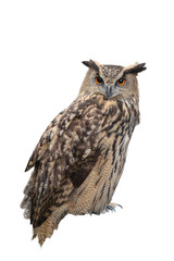 great horned owl isolated on white background