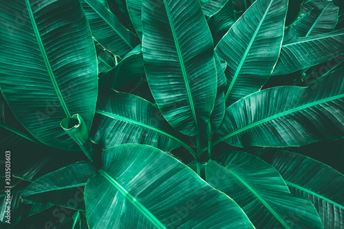 Wall mural tropical banana leaf texture in garden, abstract green leaf, large palm foliage nature dark green background