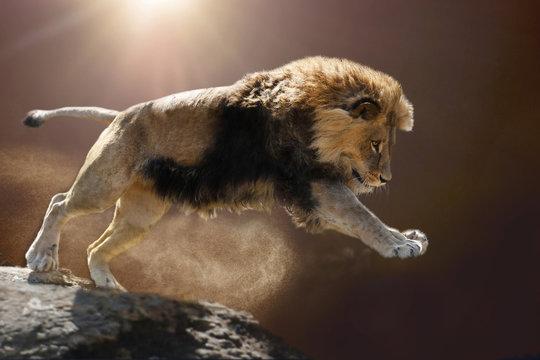 Berberlöwe, Atlaslöwe oder Nubische Löwe (Panthera leo) springt vomFelso