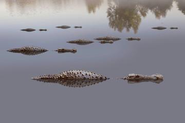 Poster Crocodile Leistenkrokodil (Crocodylus porosus) Salzwasserkrokodil oder Saltie liegen im Wasser