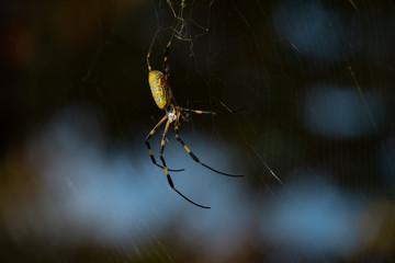 jorou spider on a web