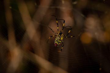 Japanese Jorou Spider