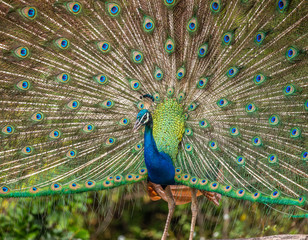 Papiers peints Paon Portrait of a peacock on the background of his tail. Close-up. Sri Lanka. Yala National park