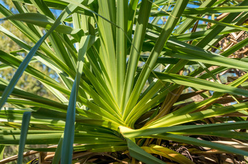 Close up of bright green pandanus palm tree leaves