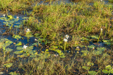 Wetlands nature background with water lilies and water plants