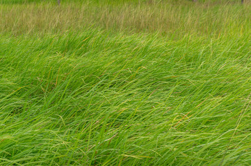 Soft long fresh green grass on a meadow. Nature background