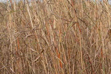 Close up of dry long yellow grass. Yellow spear grass texture background
