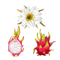 Botanical isolated set of hand drawn pitaya