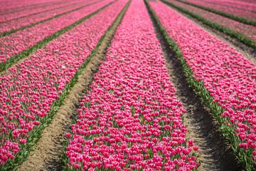Photo sur Plexiglas Rose banbon Tulips (NL)