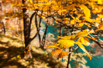 Focus on colorful autumn leaves