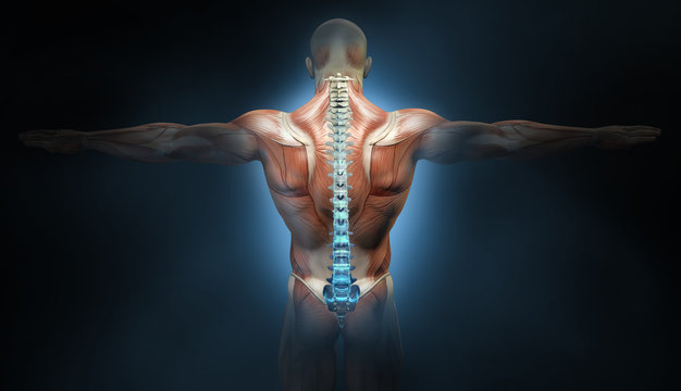 Back muscles of a man with spine, medically 3D illustration