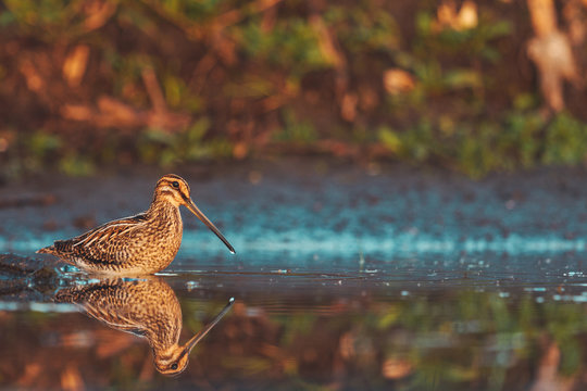 snipe stands in shallow water in the morning fog