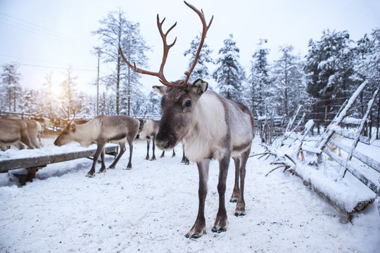 Reindeer herd, in winter, Lapland, Northern Finland