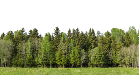 Summer green forest on the horizon with grass is isolated. The edge of a forest with deciduous and coniferous trees, natural background.