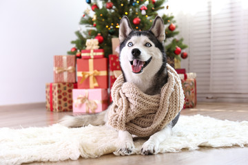 Black and white siberian husky on Christmas eve concept. Top view of adorable furry doggy sitting...