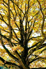 Wall Mural - close up nature abstract of huge old oak tree in fall color foliage
