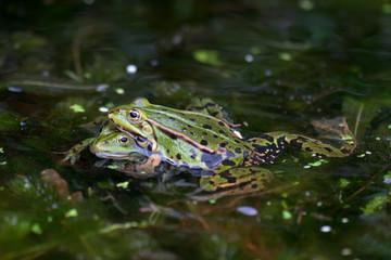 Printed kitchen splashbacks Frog Kikker man kruipt op kikker vrouw